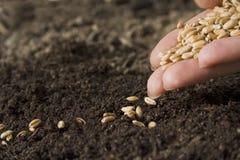 пшеница засева Стоковая Фотография RF