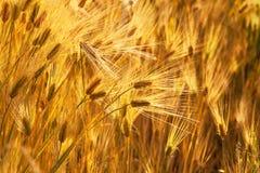 пшеница захода солнца ушей золотистая стоковая фотография