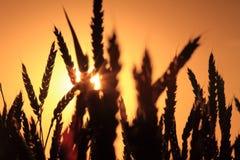 пшеница захода солнца Стоковые Фото