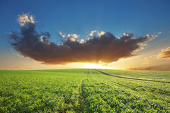 пшеница захода солнца Стоковое Изображение