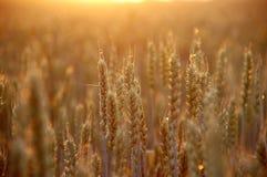 пшеница захода солнца Стоковое Фото