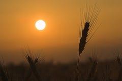 пшеница захода солнца Стоковая Фотография