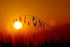 Пшеница захода солнца Стоковое Изображение RF