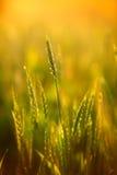 пшеница захода солнца eer светлая мягкая стоковые изображения rf