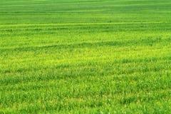 пшеница зеленого цвета травы поля Стоковое Изображение