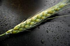 пшеница зеленого цвета уха предпосылки темная Стоковые Фото