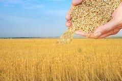 пшеница зерен Стоковые Изображения