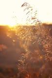 Пшеница/зерна на заходе солнца прерии Стоковые Изображения