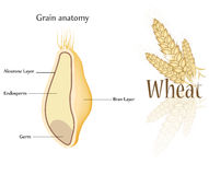 пшеница зерна Стоковая Фотография