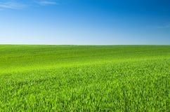 пшеница зеленого цвета поля предпосылки Стоковые Фотографии RF