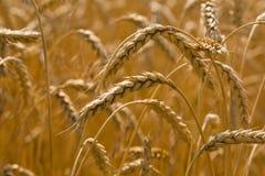 пшеница золота Стоковое Фото