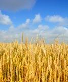 пшеница золота Стоковое фото RF