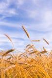пшеница золотистой растущей хлебоуборки готовая Стоковое Изображение