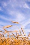 пшеница золотистой хлебоуборки готовая Стоковое Фото