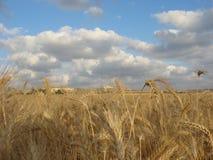 пшеница золотистой хлебоуборки поля готовая Стоковое Изображение