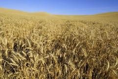 Пшеница зрелая и готовая для сбора стоковые фото