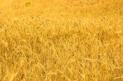 пшеница изображения детального поля золотистая высоки Стоковое Изображение