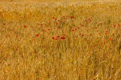 пшеница изображения хлебоуборки красивейшего поля принципиальной схемы золотистая Принципиальная схема хлебоуборки Стоковые Изображения