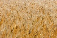 пшеница изображения хлебоуборки красивейшего поля принципиальной схемы золотистая Принципиальная схема хлебоуборки Стоковое Фото