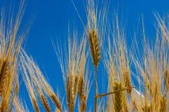 пшеница изображения хлебоуборки красивейшего поля принципиальной схемы золотистая Принципиальная схема хлебоуборки Стоковые Изображения RF