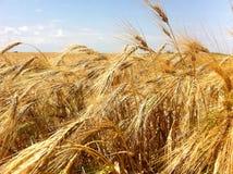 пшеница Израиля поля Стоковое Изображение