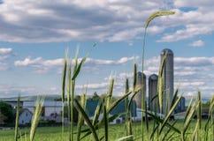 Пшеница и ферма Стоковые Изображения RF