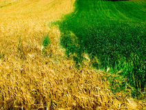 Пшеница и ячмень стоковые фото