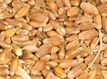 Пшеница как предпосылка Конец-вверх Стоковое Фото