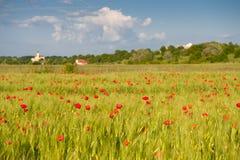 пшеница красного цвета маков поля зеленая Стоковые Фотографии RF