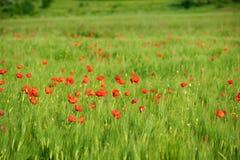 пшеница красного цвета маков поля зеленая Стоковые Изображения