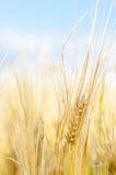 пшеница крупного плана Стоковые Изображения