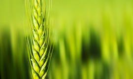 пшеница крупного плана Стоковые Фото