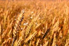 пшеница лета поля дня горячая Сельский пейзаж под сияющим солнечным светом Стоковые Фото