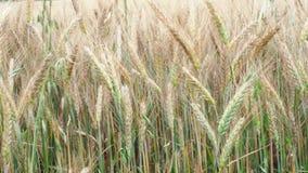 пшеница лета поля дня горячая пшеница поля ушей золотистая Предпосылка зрея ушей пшеничного поля луга сток-видео
