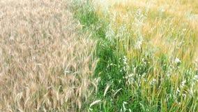 пшеница лета поля дня горячая пшеница поля ушей золотистая Предпосылка зрея ушей пшеничного поля луга акции видеоматериалы