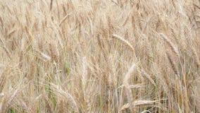 пшеница лета поля дня горячая пшеница поля ушей золотистая Предпосылка зрея ушей пшеничного поля луга видеоматериал