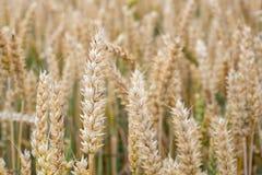 пшеница лета поля дня горячая пшеница поля ушей золотистая Предпосылка ri Стоковая Фотография