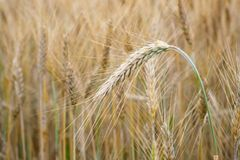 пшеница лета поля дня горячая пшеница поля ушей золотистая Предпосылка ri Стоковое Изображение