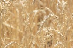 пшеница лета поля дня горячая Уши золотого конца пшеницы вверх Красивая природа Солнце Стоковые Фотографии RF