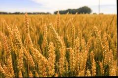 пшеница лета поля дня горячая Уши золотого конца пшеницы вверх Красивый ландшафт захода солнца природы Сельский пейзаж под сияющи Стоковое фото RF