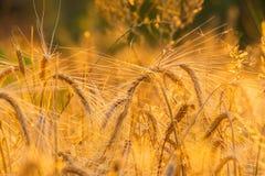пшеница лета поля дня горячая Уши золотого конца пшеницы вверх Красивый ландшафт захода солнца природы Сельский пейзаж под сияющи Стоковые Фотографии RF