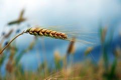 пшеница лета поля дня горячая Уши золотой пшеницы Стоковые Изображения RF