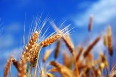 пшеница лета поля дня горячая Уши золотой пшеницы Стоковое Изображение