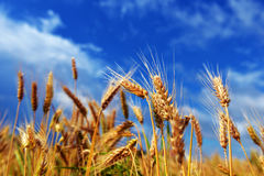 пшеница лета поля дня горячая Уши золотой пшеницы Стоковое Фото