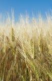 пшеница лета поля Стоковые Фотографии RF
