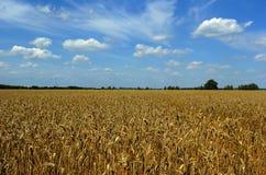 пшеница лета поля Стоковая Фотография RF