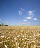 пшеница лета Стоковые Фото