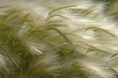 пшеница лета Стоковые Фотографии RF