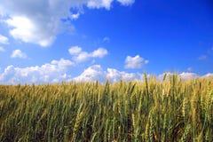 пшеница лета Стоковое Фото