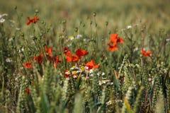 пшеница маков поля Стоковое Изображение RF